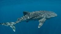 Cum poate salva tehnologia  NASA rechinii balena